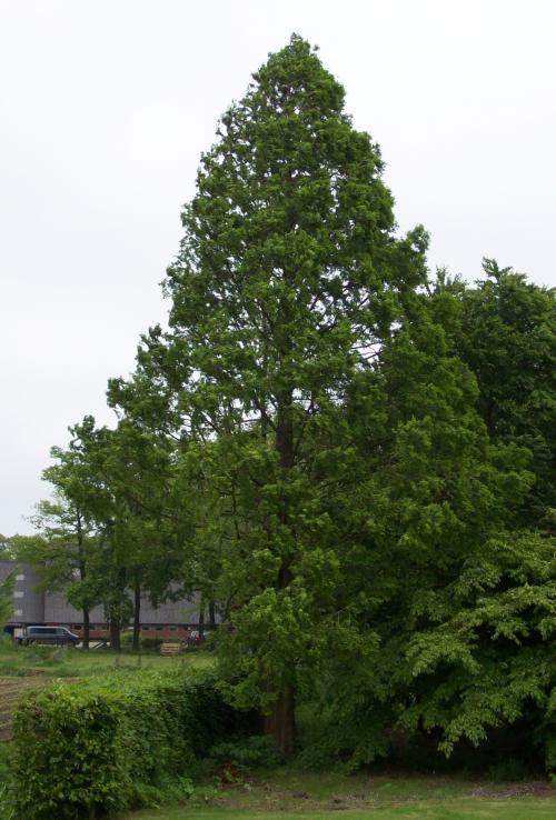 Watercypres, Metasequoia glyptostroboides in Zenderen